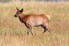 Elk calf (Cervus canadensis) Royalty Free Stock Photo