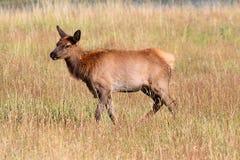 Elk calf (Cervus canadensis) Royalty Free Stock Photo