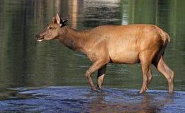 Elk Calf Crossing the Bow Royalty Free Stock Photos