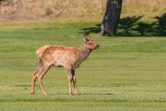 Elk Calf Royalty Free Stock Photo