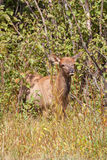 Elk Calf Royalty Free Stock Image