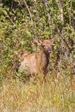 Elk Calf Royalty Free Stock Image