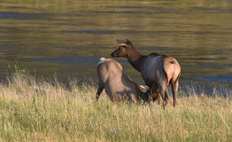 Female elk and calf, Yellowstone National Park. Female elk with calf in tall grasses at waters edge in Yellowstone National Park Royalty Free Stock Images