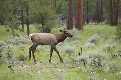 Elk Calf in Meadow Stock Photo