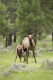 Elk Calf Nursing in Meadow Stock Images