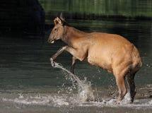 Elk Calf Splashing Royalty Free Stock Photo