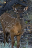 Elk Calf standing in the Shade. Rocky Mountain Elk Calf standing in the Shade Stock Photography