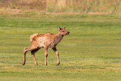 Elk Calf Trotting Royalty Free Stock Photography