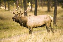 Elk Calling. Big Elk calling for his mate in the wild Royalty Free Stock Images