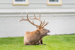 Elk calling for cow in village of Mammoth Hot Springs Royalty Free Stock Photo