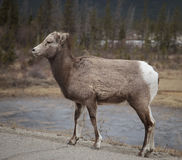 Elk calve on highway Stock Photo