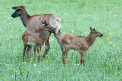 Elk calves playing Royalty Free Stock Photography