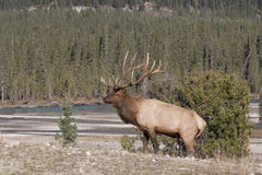 Elk in Canada Royalty Free Stock Photo