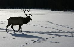 Elk in Canadian winter Stock Photo