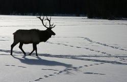 Elk in Canadian winter. Elk crossing a frozen lake in Jasper National Park Stock Photo