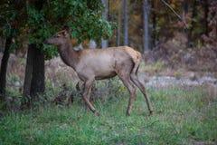 Elk Royalty Free Stock Image