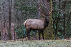 Elk at Cataloochee Valley, Great Smoky Mountains National Park, Stock Image