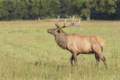 Elk In The Cataloochee Valley Royalty Free Stock Photography