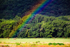 Elk, Cervus canadensis, graze beneath a rainbow in the Boxley River Valley along the Buffalo River. Near Ponca, Arkansas Royalty Free Stock Image
