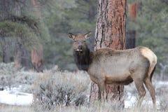 Elk (Cervus canadensis) Royalty Free Stock Images