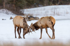Elk  Cervus canadensis Royalty Free Stock Photo