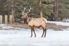 Elk  Cervus canadensis Royalty Free Stock Photography