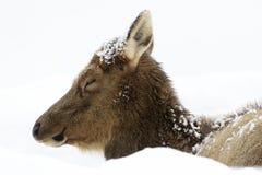 Elk Cervus elaphus, female lying down in  snow Royalty Free Stock Photos