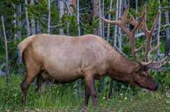 Elk (Cervus Elaphus) Stock Photo