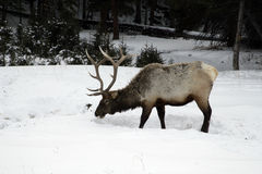 Elk, Cervus elaphus Royalty Free Stock Image