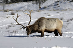 Elk, Cervus elaphus Royalty Free Stock Images
