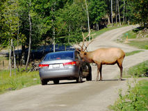 Elk checking car Royalty Free Stock Photos