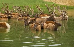 Elk Chilling. This is a shot of some elk cooling off in a pond royalty free stock images