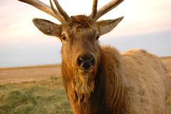 Elk Closeup. Domesticated Elk on farm near Brownlee Saskatchewan, Canada. Note straw hanging from mouth Stock Photo