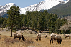 Elk in Colorado mountains Royalty Free Stock Image