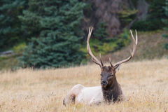 Elk of The Colorado Rocky Mountains. Wild Elk in the Rocky Mountains of Colorado Stock Photos