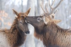 Elk couple Royalty Free Stock Photo
