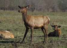 Elk cow Stock Images