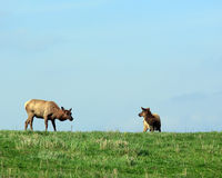 Elk cow and calf Stock Photo