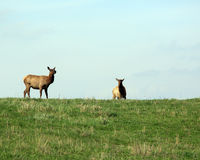 Elk cow and calf Stock Images