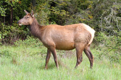 Elk Cow Royalty Free Stock Images