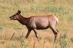 Elk cow (Cervus canadensis) Royalty Free Stock Image