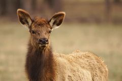 Elk Cow Stock Photography