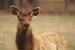 Elk Cow Stock Photography