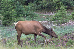Elk cow in forest Stock Image