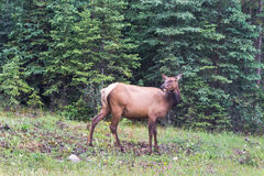 Elk cow in forest Royalty Free Stock Photo