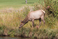 Elk Cow Going for Drink Stock Photography