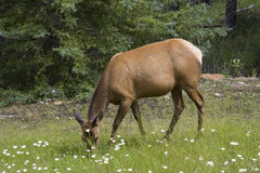 Elk cow grazing on grass Royalty Free Stock Photo