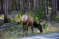 Elk Cow In The Forest Stock Photography