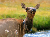 Elk cow with radio collar. Elk cow wearing a radio collar Stock Image