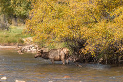 Elk Cow in River in Fall Royalty Free Stock Photos